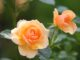 Rodzaje róż
