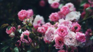 róże do ogrodu